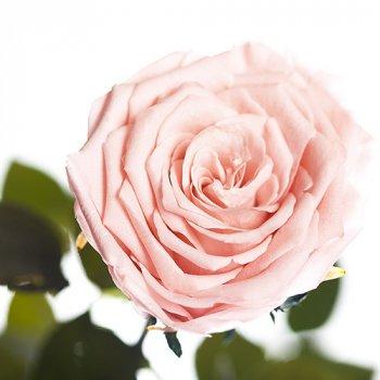 Долгосвежая жива троянда Florich в подарунковій упаковці - Рожевий перли 5 карат на короткому стеблі (1115-PK01)