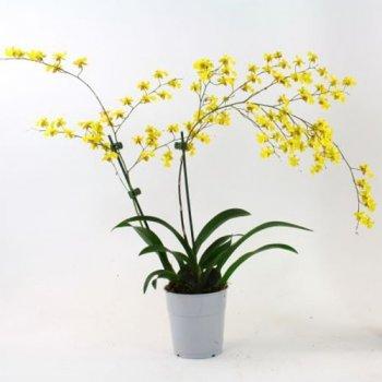 Орхідея Misaki Yellow Florium
