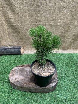 Сосна румелийская, балканская, македонская Pinus peuce, высота 20-30см, объём горшка 3л