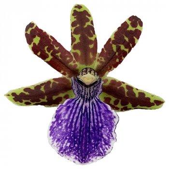 Орхідея Zygopetalum Violet Білий, бежевий, кремовий, Синій Кімнатні квіти в горщику Florium (916310)