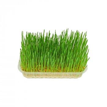 Мікрозелень Мікрозелень Ігуана Пшениця (Вітграс) 50 г