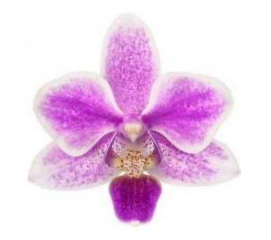 Орхидея Phal. Hourglass 232351 подросток не цветущий 1,7 (Floricultura)