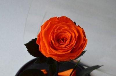 Стабилизированная роза в колбе Etoile Flora Сочный оранжевый апельсин 33 см (33R-0807)