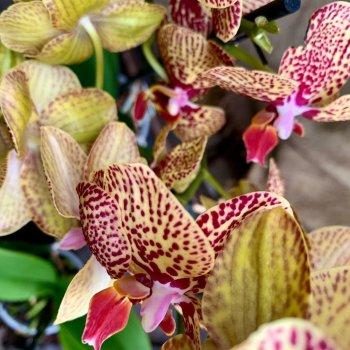 Орхидея Фаленопсис (Phalaenopsis Orchid Yellow) основной цвет желтый, 50-75см, объем горшка 1л
