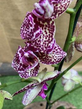 Орхидея Фаленопсис Дикий Кот Orchid Phalaenopsis Wild Cat
