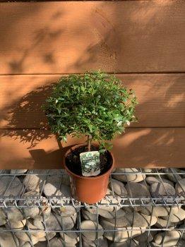 Мирт Myrtus communis на штамбі, висота 20-30 см, об'єм горщику 0,85л
