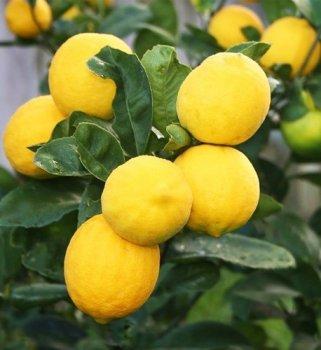 Лимон, сорт київський крупноплідний, висота 51-75см