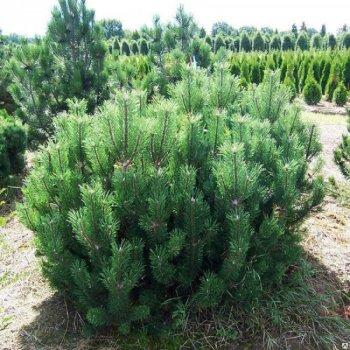 семена Сосна горная, семена древовидных, Legutko, Польша 0.1 г (Legutko) (40138)