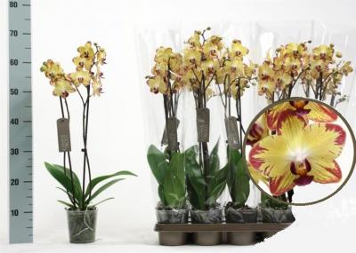 """Орхідея Фаленопсис """"Тигровий"""" 1 гілка - Supergreeny - арт. 00000014673"""
