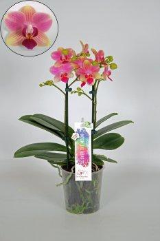 Орхідея Фаленопсис Саммэрсонг 2 гілки мультифлора 65 см пластиковому горщику - Supergreeny - арт. 00000010451