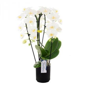 Орхідея Фаленопсис Фонтана Белладжіо 3 гілки каскад 65 см в керамічному горщику - Supergreeny - арт. 00000007991