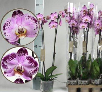 """Орхідея Фаленопсис """"Щасливий танцюрист"""" 1 гілка - Supergreeny - арт. 00000014671"""